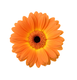 image of a gerber daisy